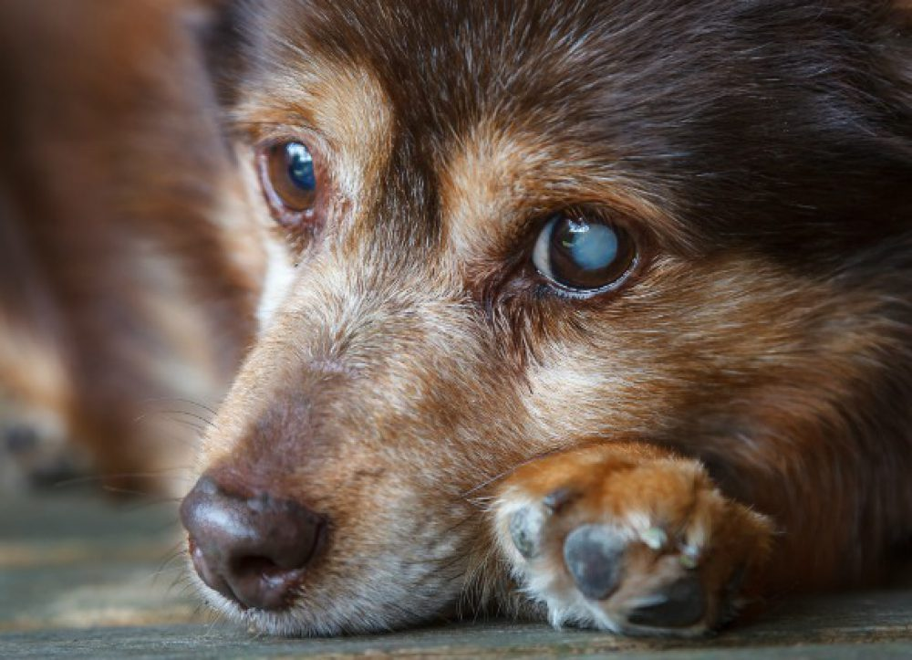 Diabetes in Older Pets